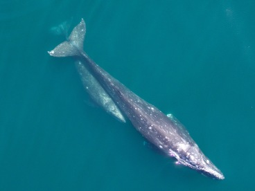 Would British waters benefit from the rewilding of gray whales? NOAA