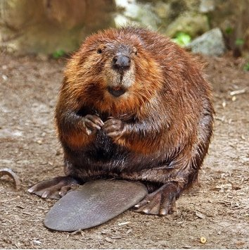 Beavers are making a comeback. Photo by Steve Hersey